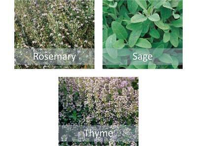 £3.95 • Buy Mixed Herb Seeds Collection - Rosemary, Thyme & Sage - Indoor Kitchen Or Garden