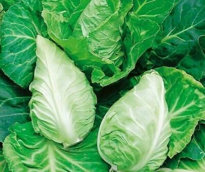 £1.99 • Buy Cabbage Greyhound - 240 Seeds - Free Delivery - Quality Vegetable Seeds