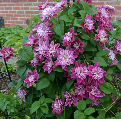 £13.99 • Buy CLEMATIS 'My Darling' In 3 Litre Pot - UK Grown Plant With Detailed Colour Label