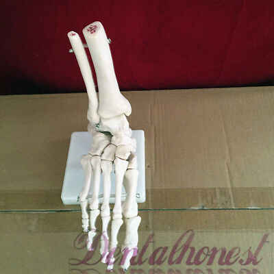 $18.90 • Buy New Foot Joint Anatomical Skeleton Model Human Medical Anatomy Life Size
