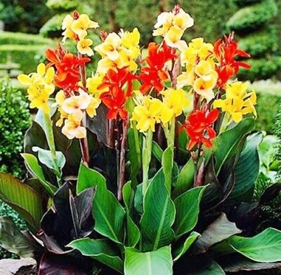 £5.99 • Buy Canna - Indica - Large Flowered Perennial Exotic Plant - 5 12 20 50 Seed Packet
