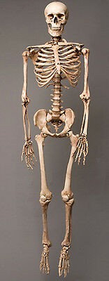 $189.95 • Buy Aged Harvey Life-Size Human Halloween Skeleton, Haunt Skeletons NEW