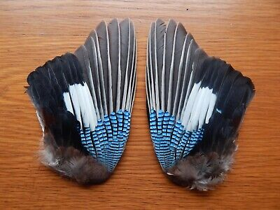 Pair Dried Jay Wings Bird Wings Fly Tying Arts Crafts Taxidermy • 11£