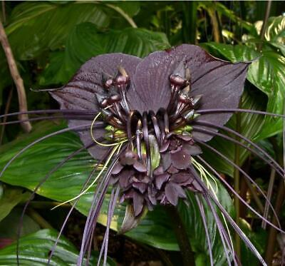 AU1.96 • Buy Tacca Chantrieri - Black Bat Flower - Black Orchid - 5 Seeds - Very Fresh Seeds