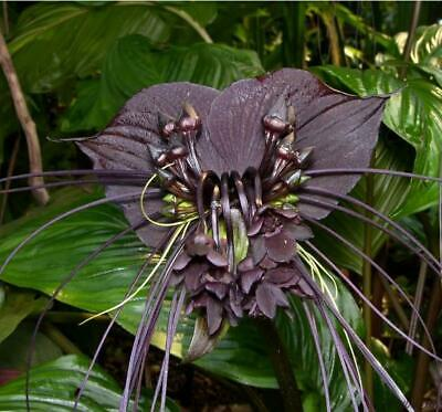AU3.52 • Buy Tacca Chantrieri - Black Bat Flower - Black Orchid - 10 Seeds - Very Fresh Seeds