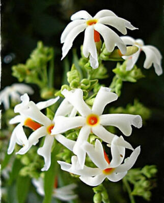 $158 • Buy NIGHT FLOWERING JASMINE SEEDS ( Nyctanthes Arbor-tristis ) Parijat - 10 Seeds