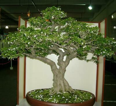 $2.32 • Buy Wrightia Religiosa - Water Jasmine, Benth, Mok, Bonsai - 10 Seeds