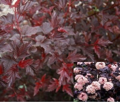 1x 3ft Large Physocarpus Lady In Red Shrub - Red Leaf Plant - 3l • 19.99£