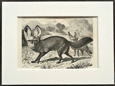 Fennec Fox Animal Print - 1893 Mounted Antique Black & White Engraving • 5.99£