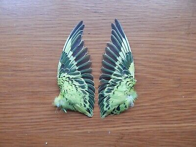 Pair Dried Domestic Budgie Wings Bird Wings Fly Tying Arts Crafts Taxidermy • 14£