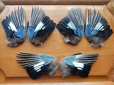 3 Pair Dried Jay Wings Bird Wings Fly Tying Arts Crafts Taxidermy • 19.50£