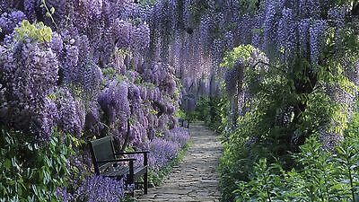 Chinese Wisteria - Wisteria Sinensis - 3 Seeds - Stunning Climber • 1.99£