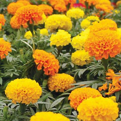 300 African Marigold Crackerjack Flower Seed Mix USA Seller  • 3.08£