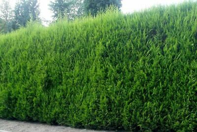 5x Large 3ft+ Green Leylandii Trees - Evergreen Hedging Plants - 2/3l Potted • 39.99£