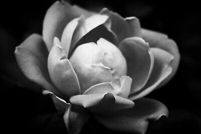 $8.99 • Buy Rose B&W Nature Photo Print 8x10 Wall Art Home Office Flower Black And White