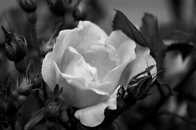 $9.99 • Buy Rose II B&W Nature Photo Print 8x10 Wall Art Home Office Flower Black And White