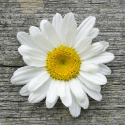 4 X Paper Napkins For Decoupage, Crafts, Scrapbooks - Daisy On Wood • 1.20£