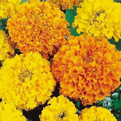 50 Marigold African Heirloom Crackerjack Seeds - Yellow & Orange Double Flowers • 2.99£
