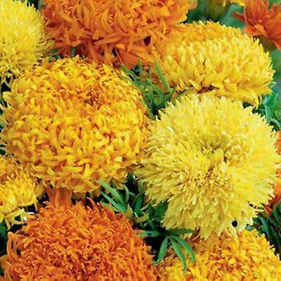 50 African Marigold Fantastic Mix Seeds - Orange & Yellow Flowers - 50 Seeds • 3.99£