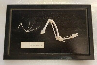 Vintage Mounted Bat And Bird Wing Bones Display Case • 20£