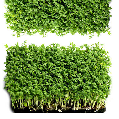 £7.99 • Buy Organic CRESS Seeds - Non GMO Sprouting Seeds - Healthy Microgreens - Sprouts -