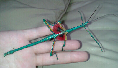 Achrioptera Manga (Fallax) Stick Insect Eggs From Mated Pairs 35+10 FREE • 10£