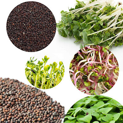 £2.98 • Buy Organic Sprouting Seeds - Alfalfa Broccoli SPROUTS MICROGREENS With INSTRUCTION
