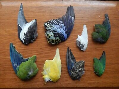8 Odd Dried Domestic Parrot  Wings Bird Wings Fly Tying Arts Crafts Taxidermy • 19.99£
