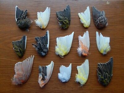 15 Odd Dried Domestic  Canary Wings Bird Wings Fly Tying Arts Crafts Taxidermy • 27£
