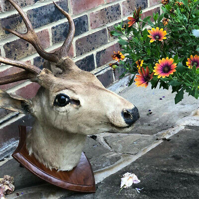 Deer Head With Antlers-Vintage Taxidermy With Lovely Face-very Good Condition • 50£