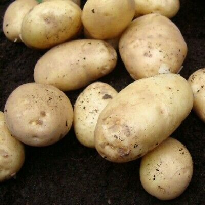 Seed Potatoes HOME GUARD. First Early SCOTTISH CERTIFIED SEED • 5.99£