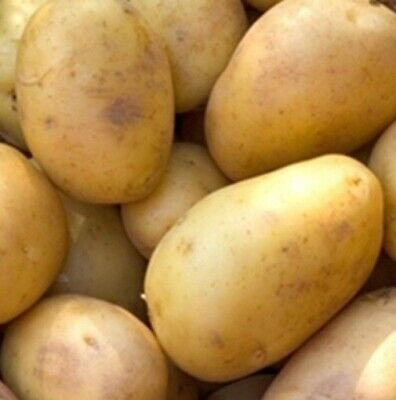 Seed Potatoes DUKE OF YORK. First Early. Scottish Certified Seed. • 5.99£