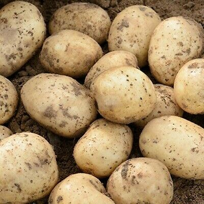 Seed Potatoes CASABLANCA. This New First Early Looks Set To Be A Huge Success • 5.99£