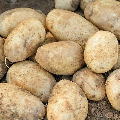 Seed Potatoes MARIS BARD. A Very Reliable High Yielding First Early. • 5.99£