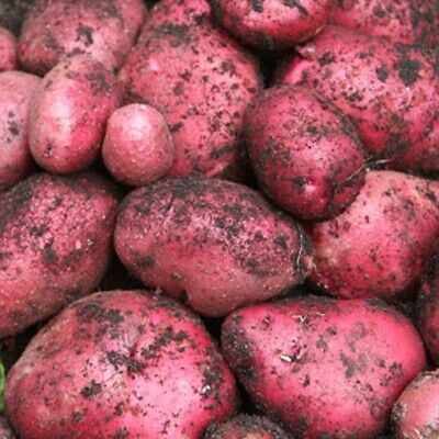 Seed Potatoes RED DUKE OF YORK. First Early, Prized For It Superb Flavour • 5.99£