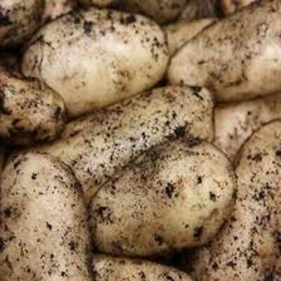 Seed Potatoes SHARPE'S EXPRESS. First Early. Scottish Certified Seed. • 7.99£