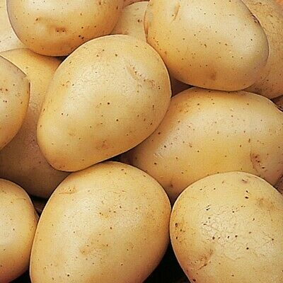 Seed Potatoes WINSTON. Almost Unstoppable On The Show Circuit Since 1992. • 5.99£