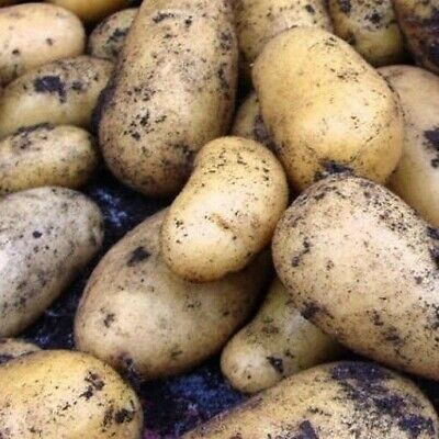 Seed Potatoes CHARLOTTE. Salad Type Second Early Variety SCOTTISH CERTIFIED SEED • 10.99£