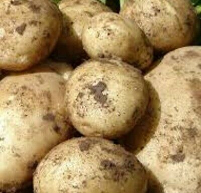 Seed Potatoes MARIS PIPER. Very Reliable, High Yields Of Top Flavoured Tubers. • 5.99£