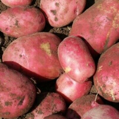 Seed Potatoes RED KING EDWARD. Very Rare Heritage Variety. Seldom Offered. • 5.99£