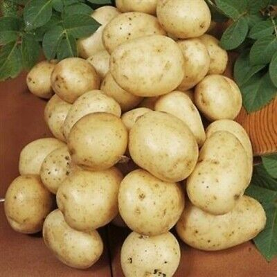 Seed Potatoes NAVAN. A Reliable And Heavy Cropper With Good Drought Tolerance. • 5.99£