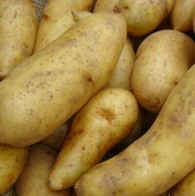 Seed Potatoes MAYAN GOLD. Has Its Roots In The Foothills Of The Andes Mountains. • 10.99£