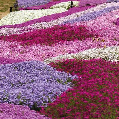 HARDY CREEPING PHLOX COLLECTION FIVE X 9cm POT PLANTS Rockery, Ground Cover • 15.90£