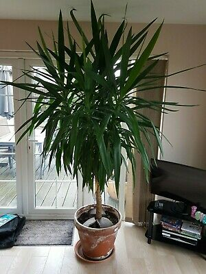 Very Large Yucca Plant Over 7ft Tall Plus More And In Perfect Growing Condition • 70£