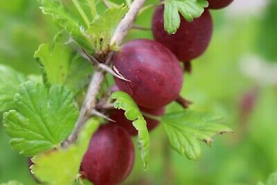 £15.95 • Buy Gooseberry Captivator In A 3ltrs Pot Ready For Planting Out. Pot Grown