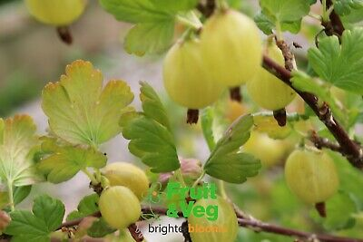 £15.95 • Buy Gooseberry Hinnonmaki Yellow Pot Grown Plant Ready To Plant Out Or Potting On