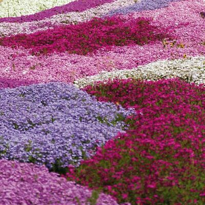 £12.99 • Buy Creeping Phlox Collection Perennial Garden Plant 5, 10, 20 Or 50 Postiplugs UK