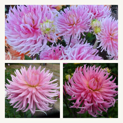 Cactus Dahlia HollyHill Cotton Candy Tubers. Grade I. Pretty Pink Flowers • 8.95£