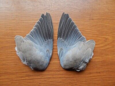 £8.99 • Buy Pair Dried Collared Dove  Wings Bird Wings Fly Tying  Feathers Arts Crafts