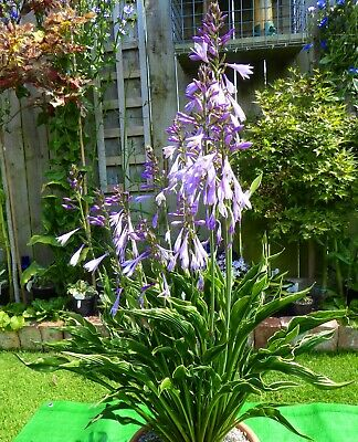 £6 • Buy PRAYING HANDS HOSTA PLANTS   Strong - Healthy Plants.
